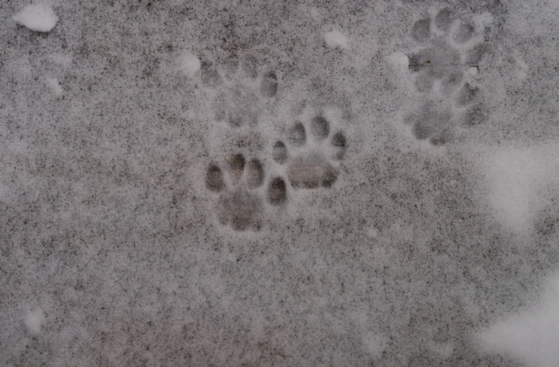 Cat Prints in. Snow.
